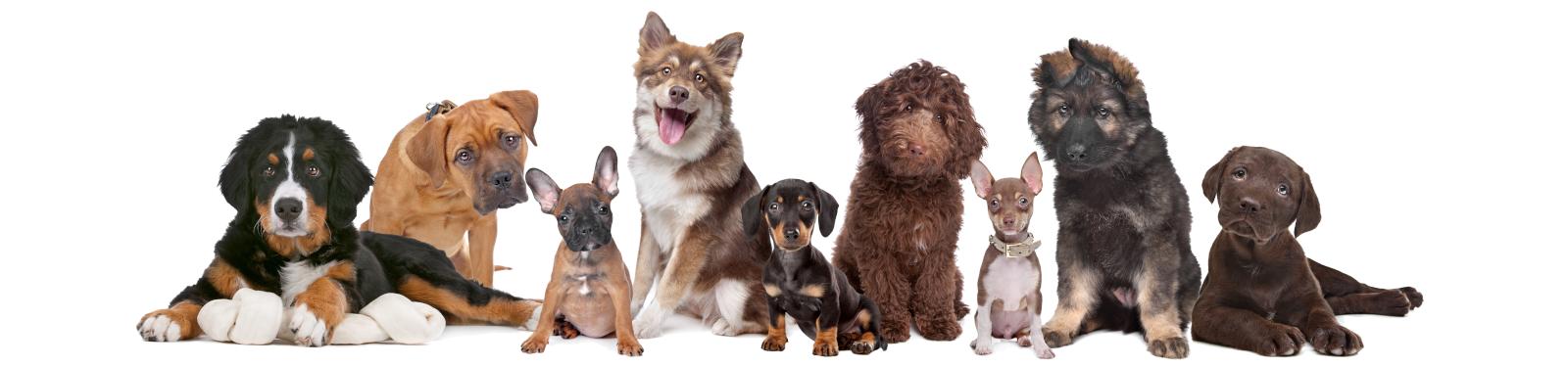 Alles über Hunde - Hund als Haustier