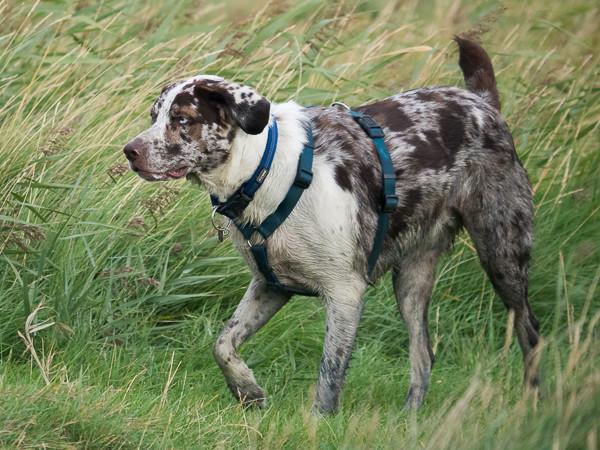 Hund mit H-Geschirr und Halsband