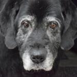 Alter Hund - Senioren Hunde
