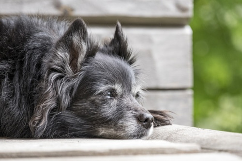 Hund Senior - alter Hund