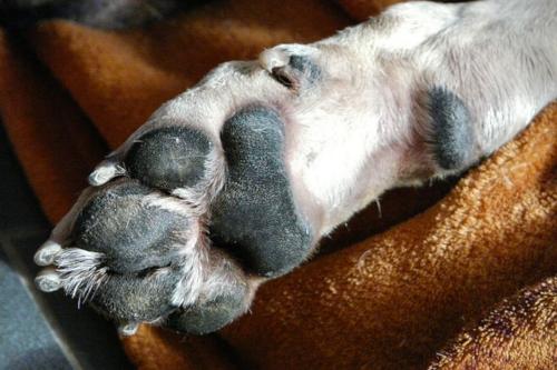 Hundepfote Krallen schneiden