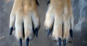 Krallen schneiden Hund