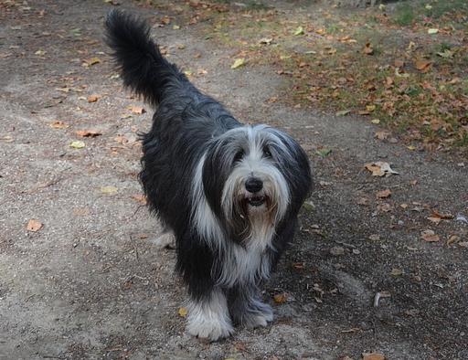 Langhaar Hund mit viel Unterwolle
