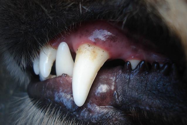 Zahnstein beim Hund