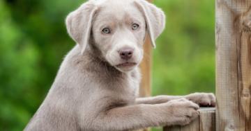Labrador Silber