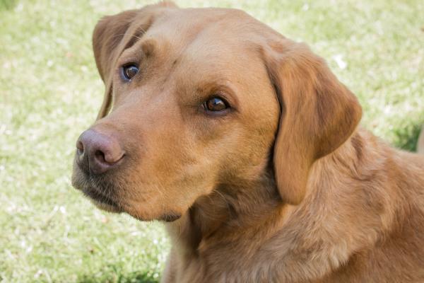 Redfox Labrador