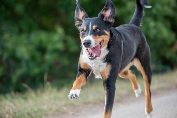 Appenzeller Sennenhund Wesen, Charakter und Besonderheiten