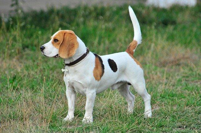 Beagle erziehen