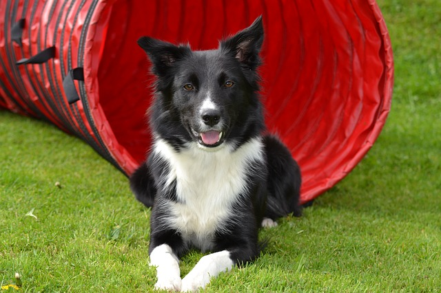 Border Collie Erziehung