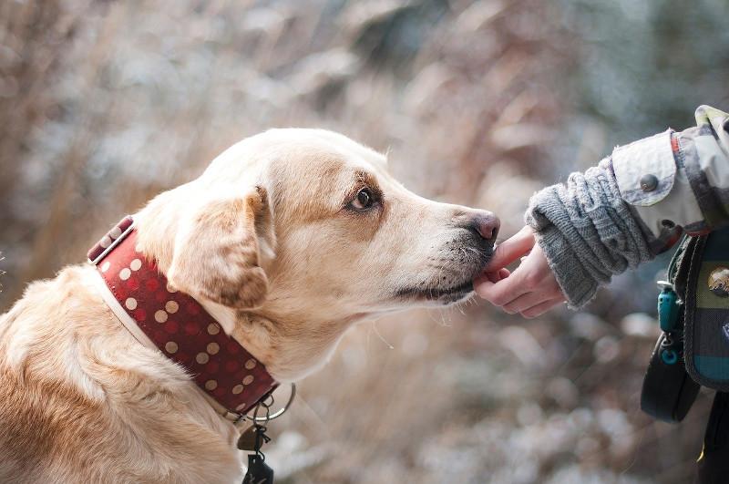 Labrador Erziehung mit Leckerli