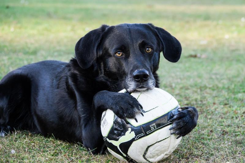 Labrador Retriever spielen gerne