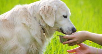 Welchen Tee dürfen Hunde trinken